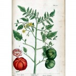 Botanical - A curious herbal - Fruit - Amoris Pomum