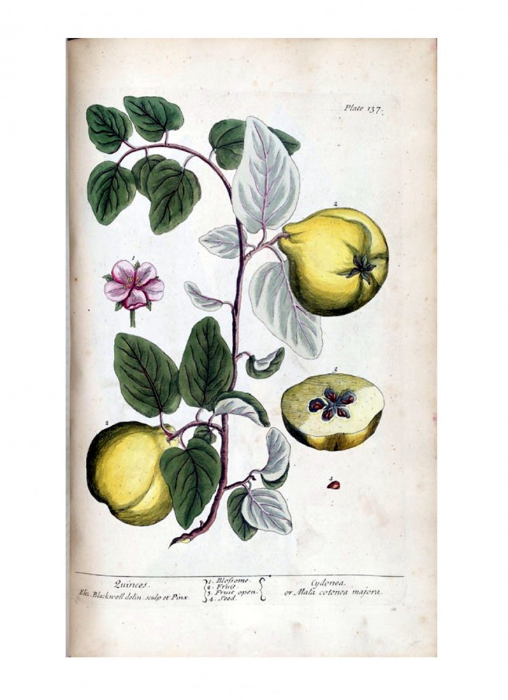 Botanical - A curious herbal - Fruit - Cydonea or Mala cotonea majora (Quinces) p137