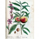 Botanical - A curious herbal - Fruit - Persica Malus (The Peach Tree) p101