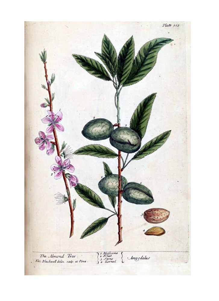 Botanical - A curious herbal - Tree - Amygdalus (The Almond Tree) p105