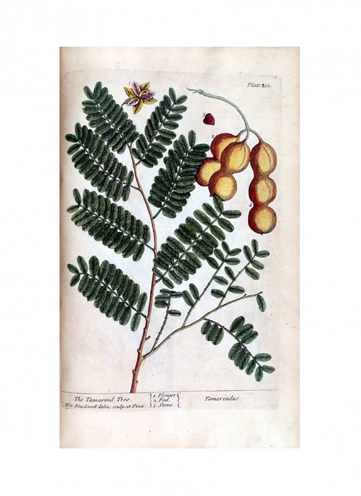 Botanical - A curious herbal - Tree - Tamarindus (The Tamarind Tree) p201