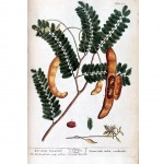 Botanical - A curious herbal - Tree- Tamarindus indica Orientalis (The East India Tamarind) p221