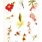 Botanical - Asian - Floral design - The garden of Japan - Educational plate