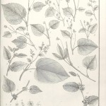 Botanical - Black and white - Educational plate - Leaf classifications (1)