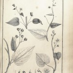 Botanical - Black and white - Educational plate - Leaf classifications (13)