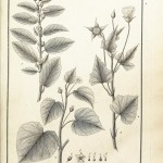 Botanical - Black and white - Educational plate - Leaf classifications (4)