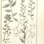 Botanical - Black and white - Educational plate - Leaf classifications (5)