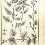 Botanical - Black and white - Educational plate - Leaf classifications (6)