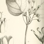 Botanical - Black and white - Leaf - educational plate 2