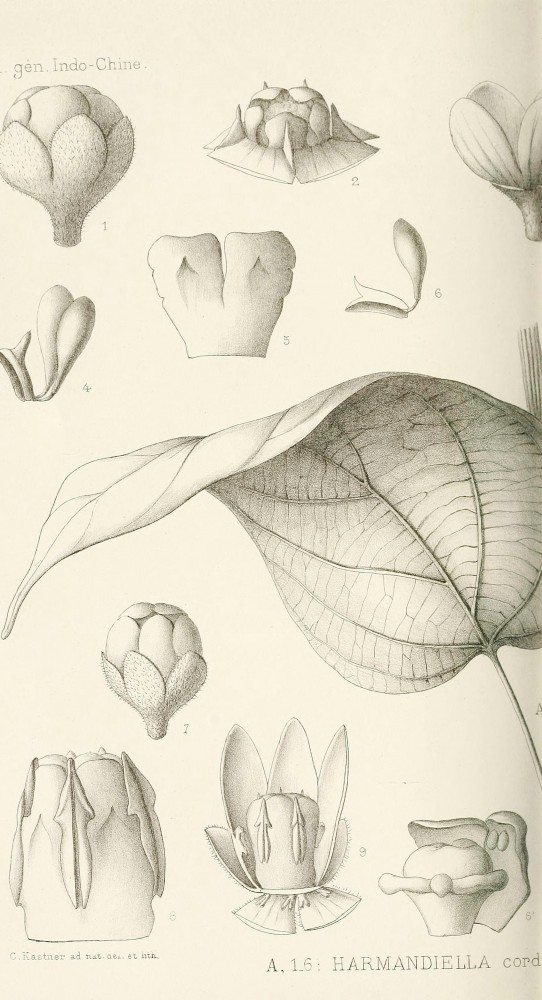 Botanical - Black and white - Leaf - educational plate