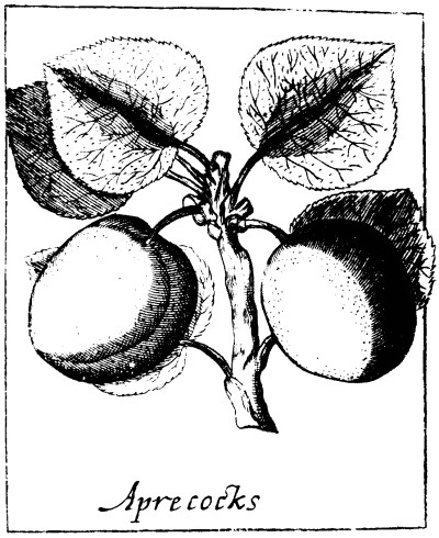 Botanical - Black and white - Line Drawing - Apricots