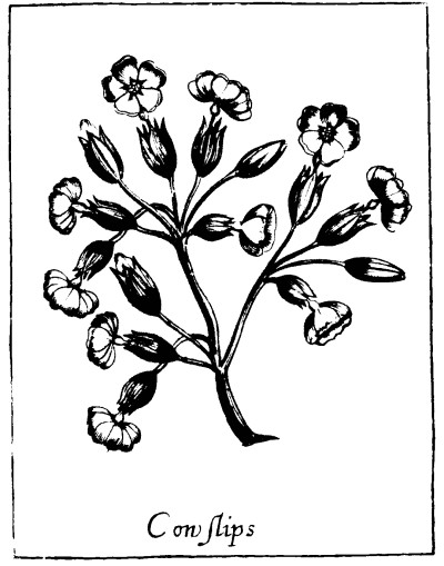 Botanical - Black and white - Line Drawing - Cowslips