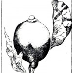 Botanical - Black and white - Line Drawing - Lemon