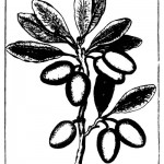 Botanical - Black and white - Line Drawing - Olives