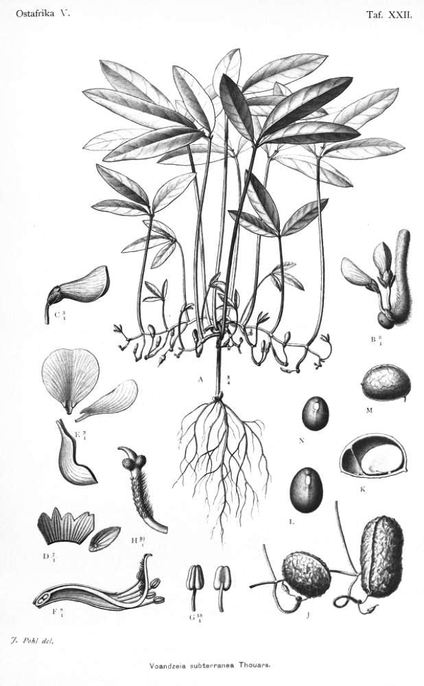 Botanical - Black and white - Line Drawing - Peanuts