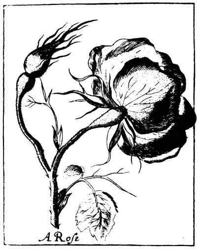 Botanical - Black and white - Line Drawing -  Rose