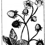 Botanical - Black and white - Line Drawing -  Strawberries