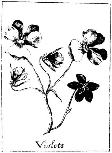 Botanical - Black and white - Line Drawing - Violets