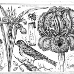 Botanical - Black and white - Livres de Fleurs 1620