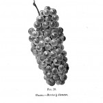 Botanical - Black and white - Native Grape -  (10)