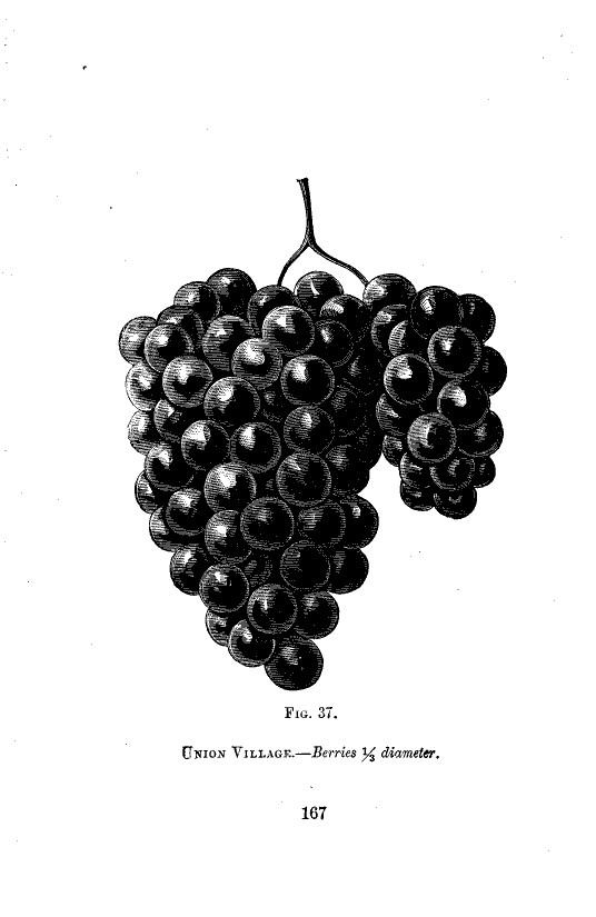 Botanical - Black and white - Native Grape -  (11)