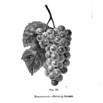 Botanical - Black and white - Native Grape -  (12)