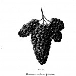 Botanical - Black and white - Native Grape -  (7)