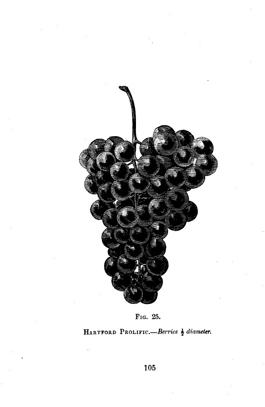 Botanical - Black and white - Native Grape -  (8)
