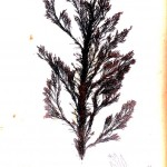 Botanical - British Sea Weed 1859 (1)