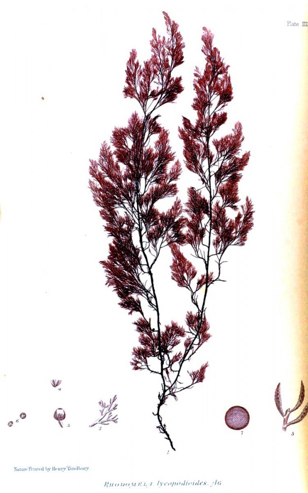 Botanical - British Sea Weed 1859 (2)