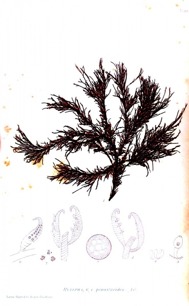 Botanical - British Sea Weed 1859 (3)