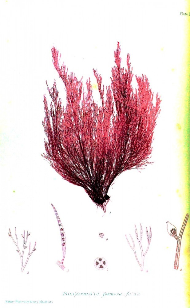 Botanical - British Sea Weed 1859 (4)
