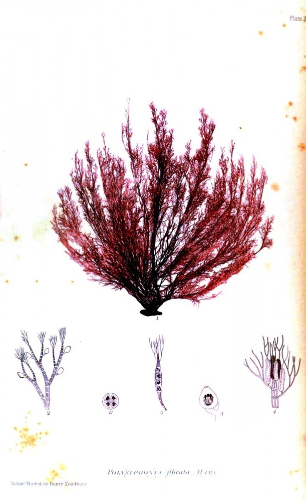 Botanical - British Sea Weed 1859 (5)