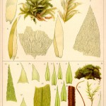 Botanical - Bryologica atlantica 1910 - Mosses, lichens, and liverwarts -  (10)