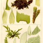 Botanical - Bryologica atlantica 1910 - Mosses, lichens, and liverwarts -  (11)