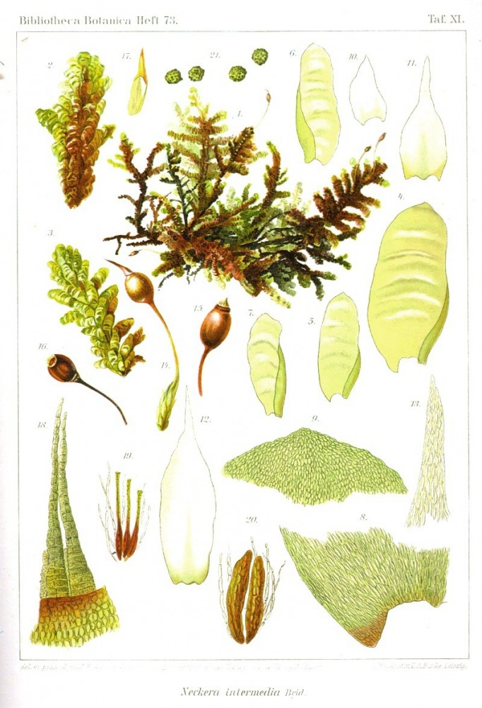 Botanical - Bryologica atlantica 1910 - Mosses, lichens, and liverwarts -  (12)