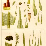 Botanical - Bryologica atlantica 1910 - Mosses, lichens, and liverwarts -  (2)