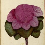 Botanical - Cabbage - Pink - Italian