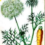 Botanical - Carrot - Educational plate
