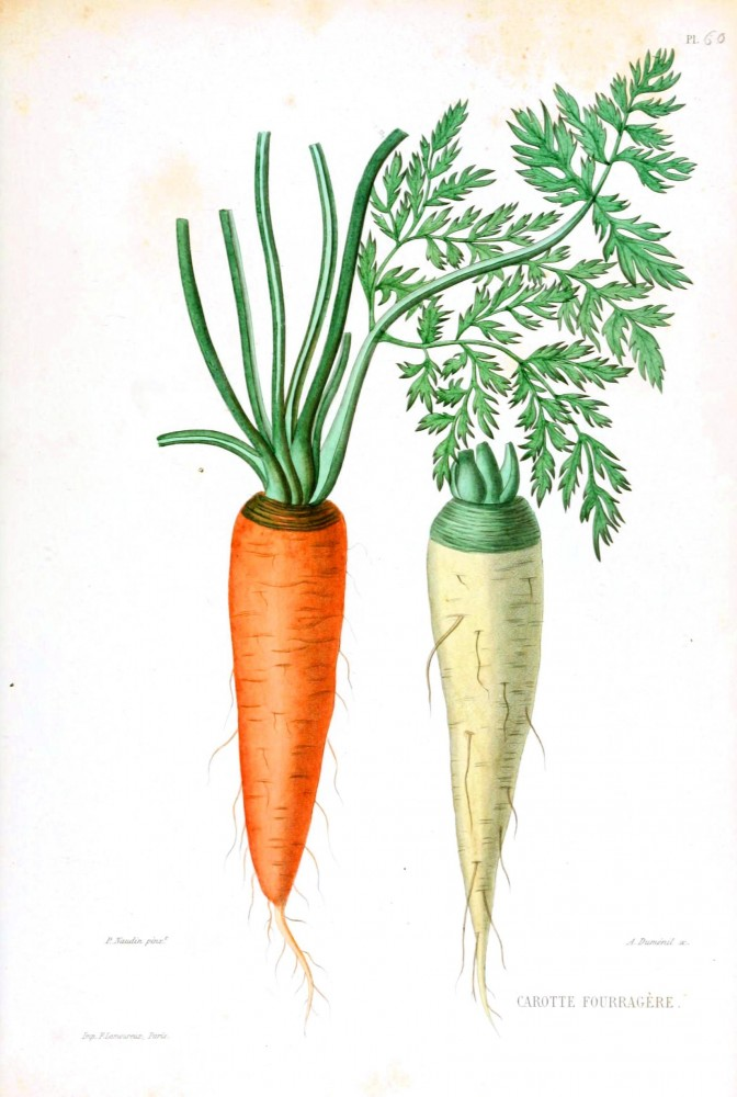 Botanical - Carrot - white and orange