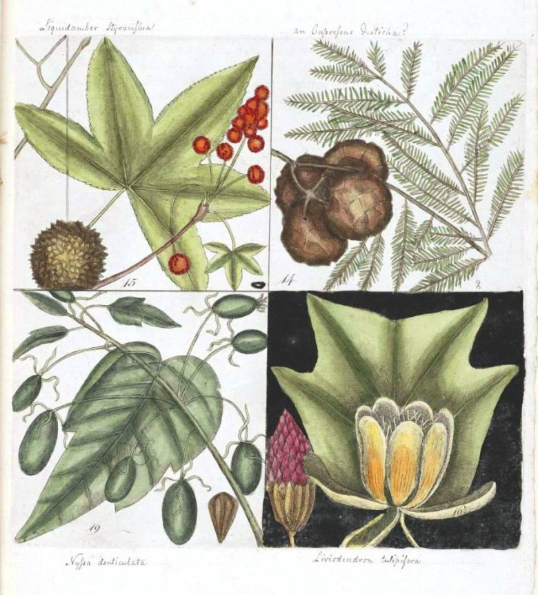 Botanical - Catesby - 14. Cupresses Americana. The cyress of America