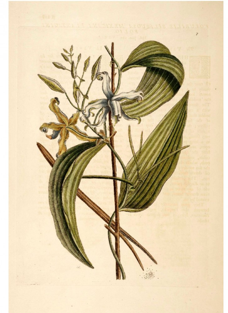 Botanical - Catesby - Vanilla Orchid