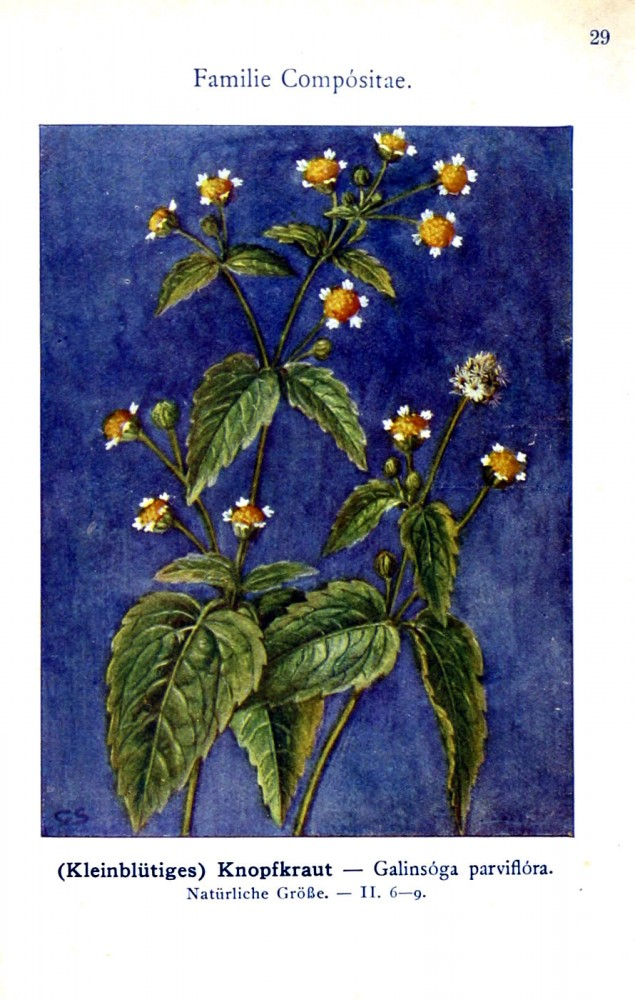 Botanical - Color - German - Compositae 2