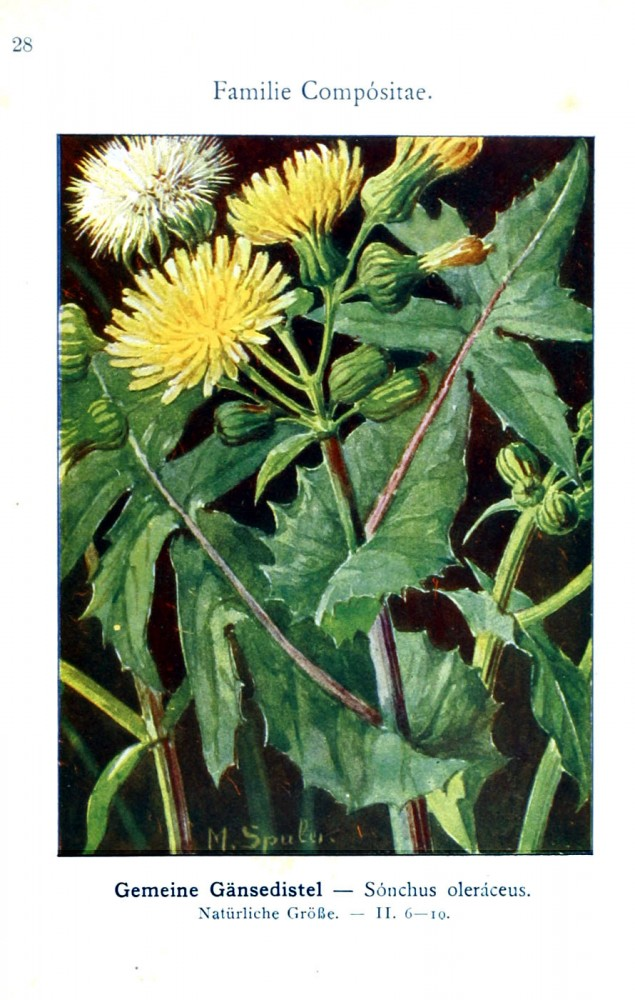 Botanical - Color - German - Compositae dandelion