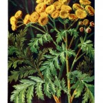 Botanical - Color - German - Compositae3
