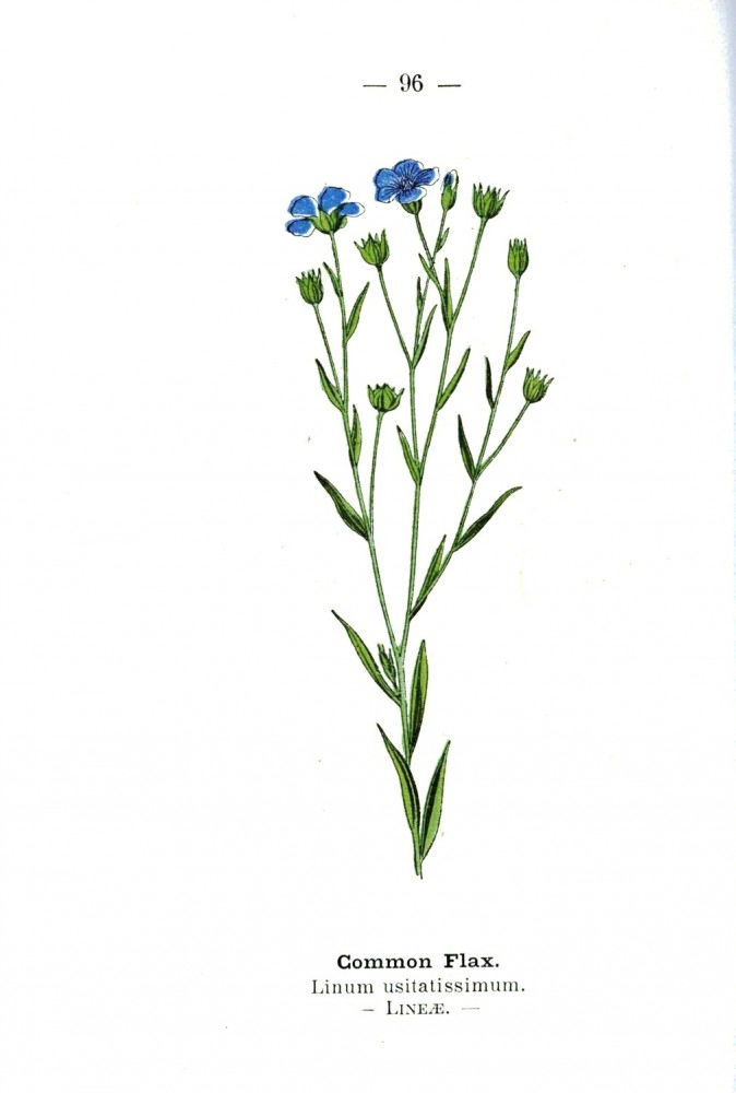 Botanical - Common flax - Wayside and Woodland 1895 - Plate 96