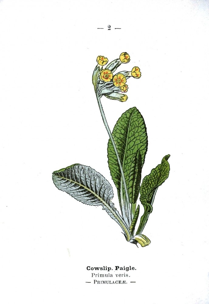 Botanical - Cowslip - Wayside and Woodland 1895 - Plate 2