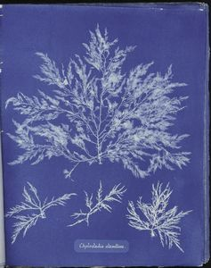 Botanical - Cyanotype - (1)