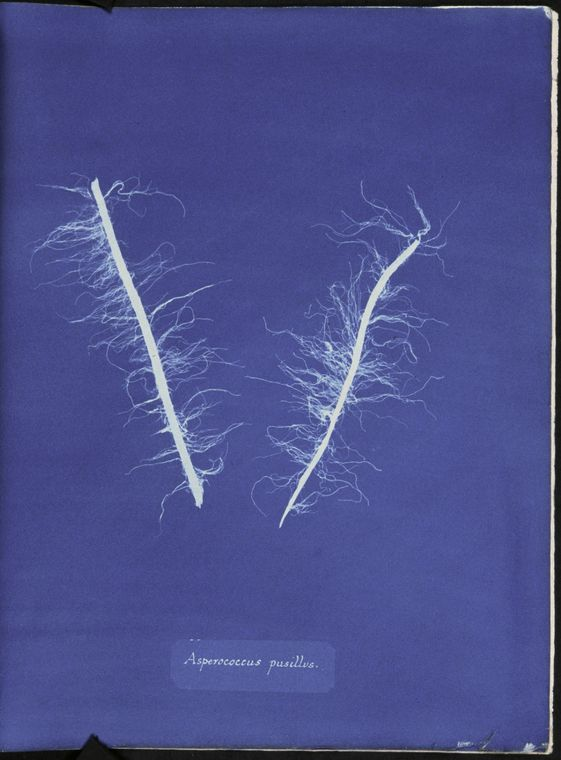 Botanical - Cyanotype - (10)