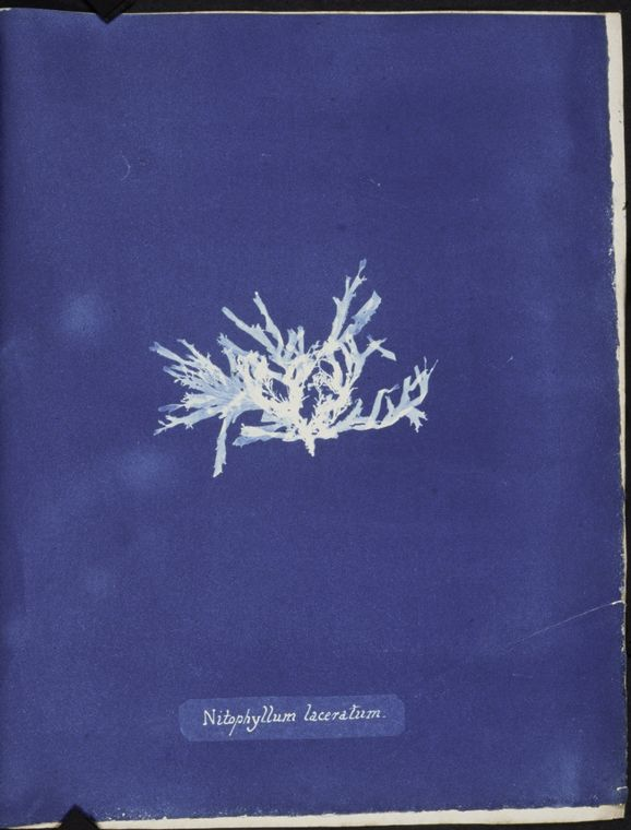Botanical - Cyanotype - (11)
